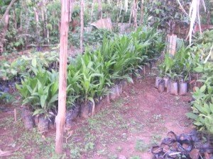 pepiniere-palmier-a-huile2-300x225